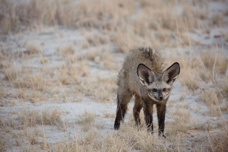 Löffelhund in freier namibischer Natur