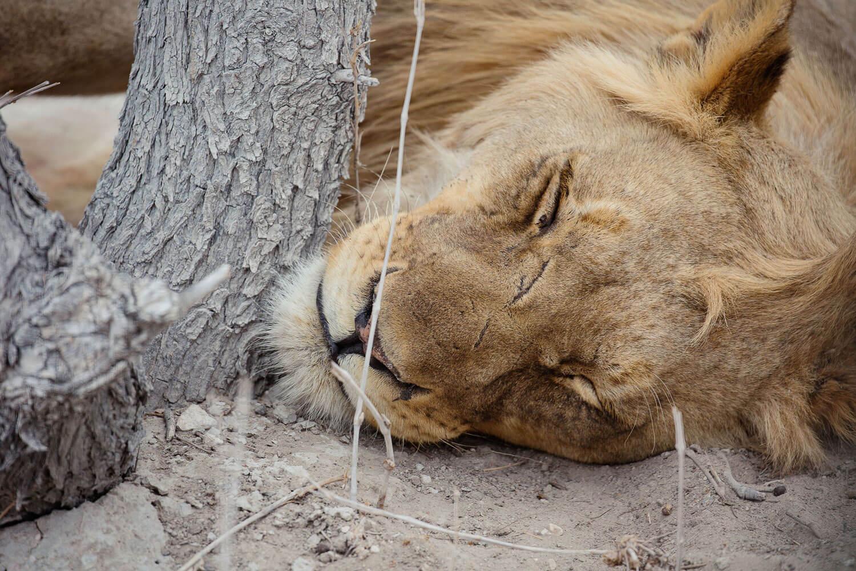 Wilde Tiere nah erleben - Löwen ganz nah