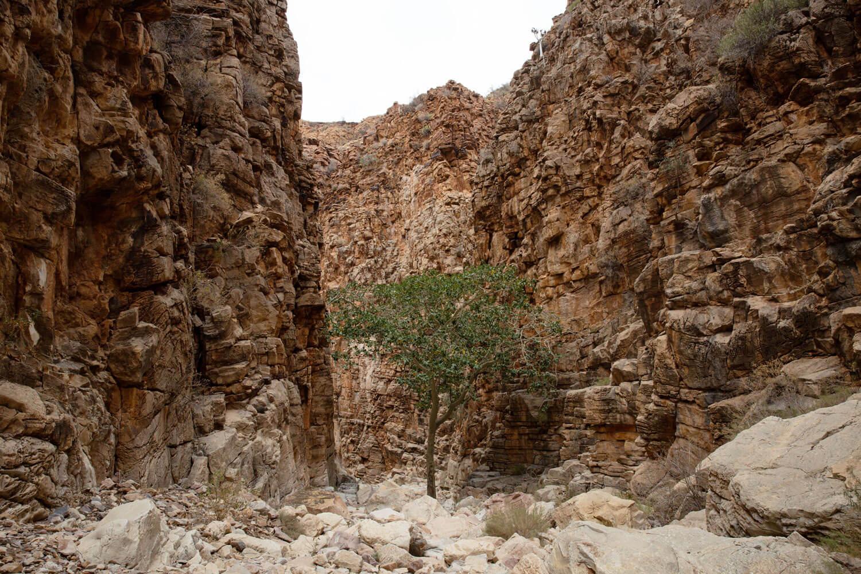 Der einzig grüne Baum im Olive Trail